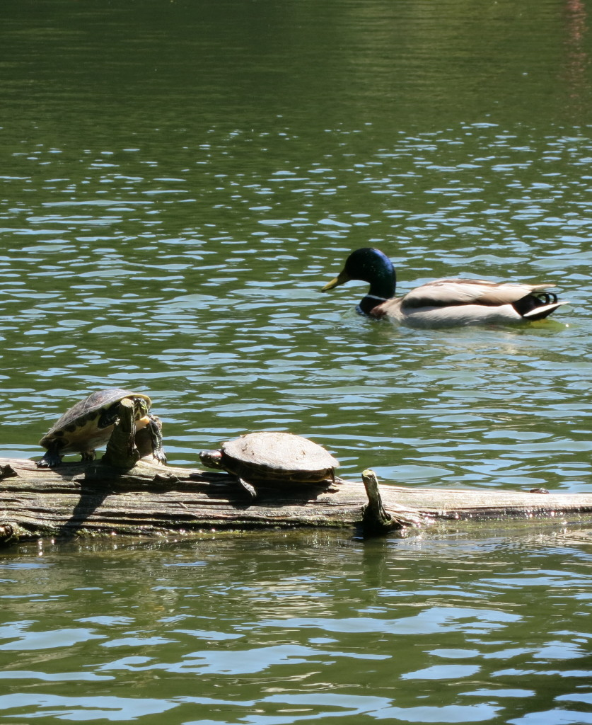 Ducks and turtles near the boathouse