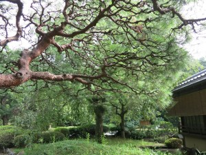 A twisting tree near the Tea House