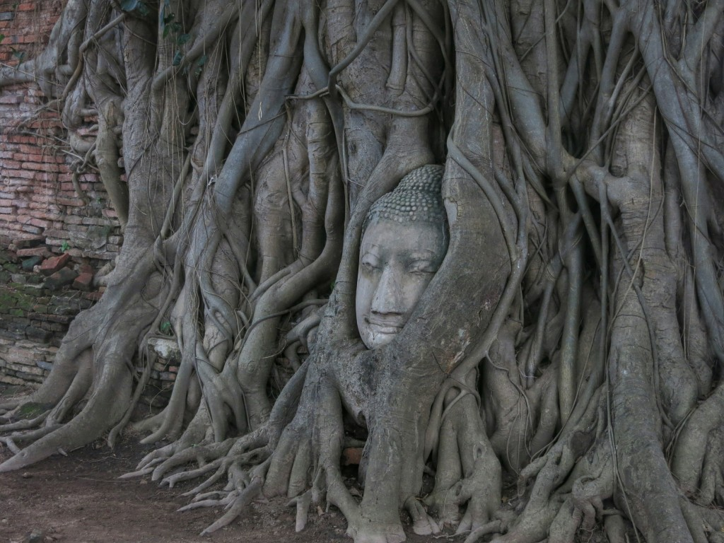A buddha head wrapped in a tree